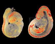 Bioimaging Embryology